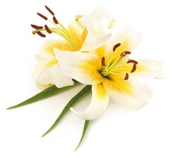 Two white lilies isolated on a white background.
