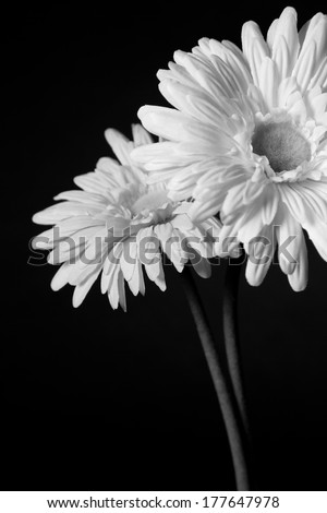 Two white open flowers on a black background