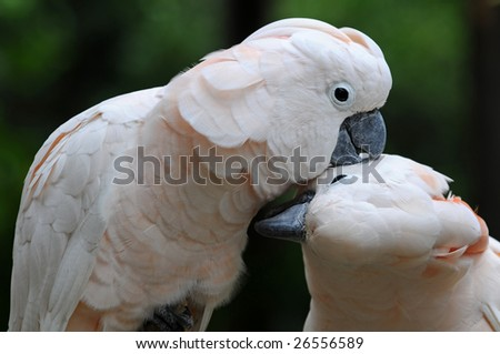 Two white parrots kissing each other