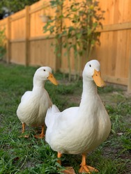 Two white pekin ducks with a wooden fence background