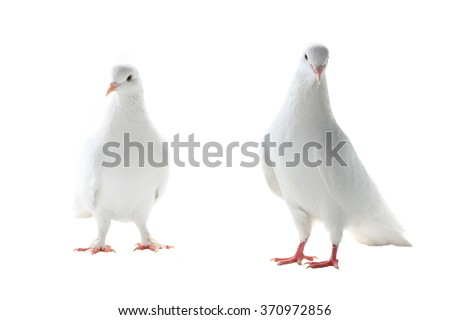 two white pigeon on a white background #370972856