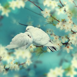 Two white pigeon on flowering background.
