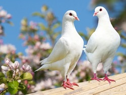 Two white pigeon on flowering background - imperial pigeon - ducula
