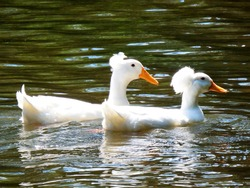 Two white pompom duck on the river