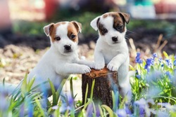 two white puppy Jack Russell Terrier standing on tree stump among purple flowers