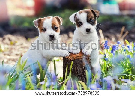 two white puppy Jack Russell Terrier standing on tree stump among purple flowers Foto stock ©