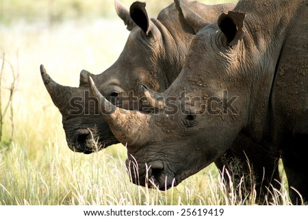 Two white rhino grazing
