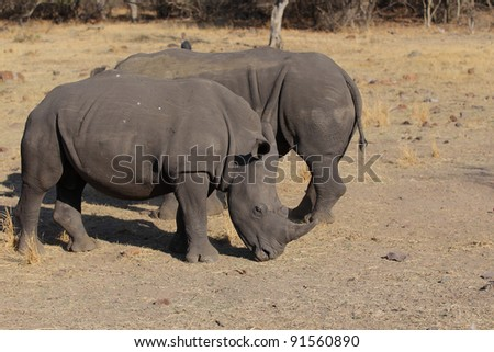 Two White Rhinos in Kruger national park, South Africa.