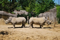 Two white rhinos in the enclosure at the zoo, sand,