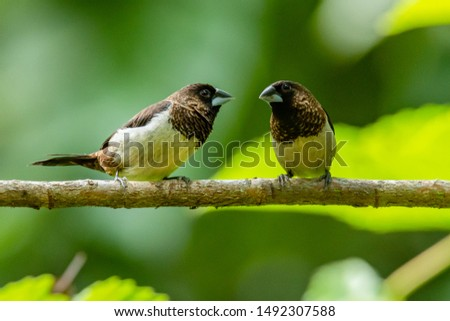 Two White-rumped Munia perching on a perch looking into a distance