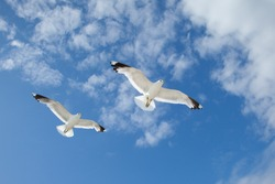 Two white sea gulls flying in the blue sunny sky over the coast of Baltic Sea