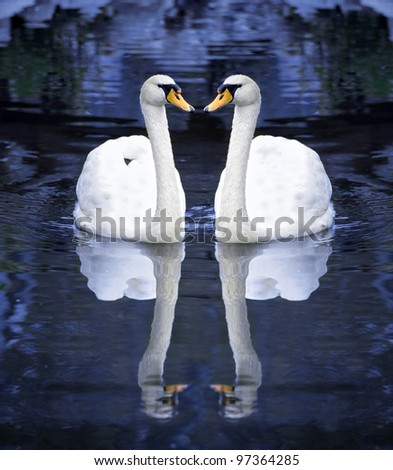 Two white swan on water