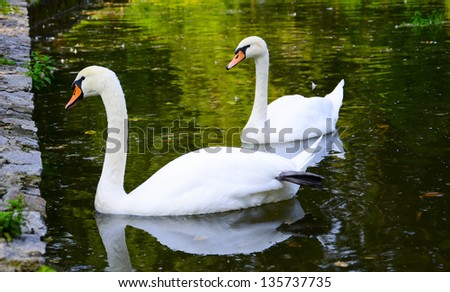 Stock Photo Two white swans float on water in park