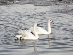 Two white swans gliding across the river