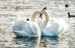 Two white swans heart water scene. White swans love scene. True love two swans. White swan love view