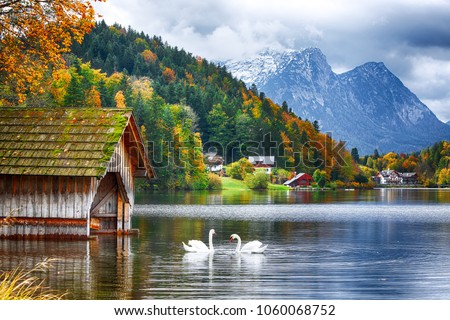 Two white swans in crystal clear water Grundlsee Lake. Beautiful landscape of alps. Location: resort Grundlsee, Liezen District of Styria, Austria, Alps. Europe.