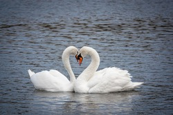 two white swans in love courting on a lake