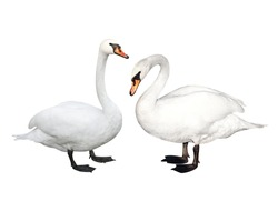 Two white swans. Isolated over white