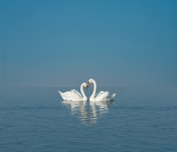 two white swans on blue lake, empty space for text, concept love, romanticism or valentine day