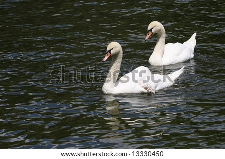 two white swans on pond