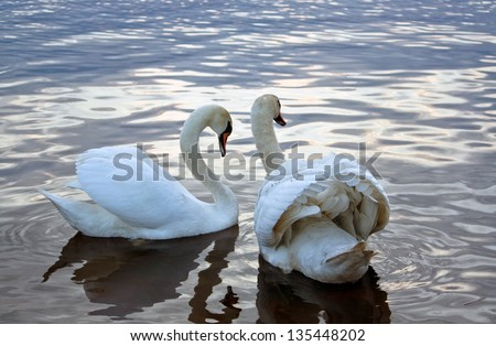 Two white swans swimming at evening.
