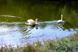 two white swans swims in the lake