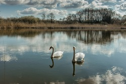 Two white swans water scene. Beautiful wild swans swim in the lake. Swans on the water in spring day. Spring sunny day water reflection. Swan in wild nature.Elegant white bird.