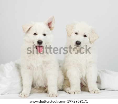 Two White swiss shepherd puppies sit together on a bed at home. One dog tilts its head