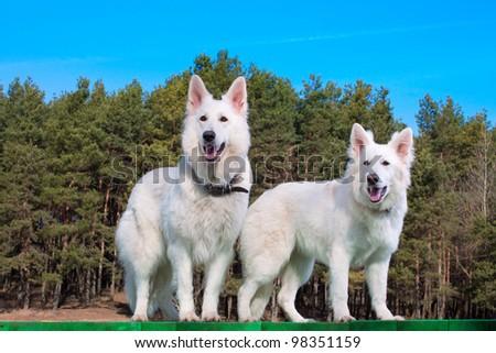 Two white Swiss Shepherds standing on green platform