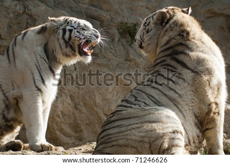 Two white tiger