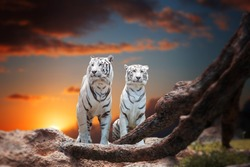 two white tiger sitting on a rock and watching the sunset