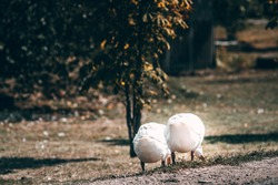 Two white village geese graze on a green meadow. Village life and its feathered inhabitants. Beautiful white geese with an orange beak nibble the grass.