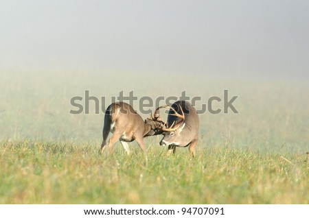 Two whitetailed deer bucks sparring in an open meadow
