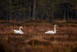 Two Whoopen swans, Cygnus cygnus as the national birds of Finland, laying on the dark swamp floor during autumn migration.