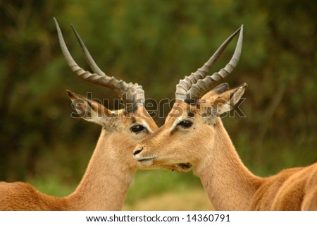 Two wild African male Impala antelope (Aepyceros melampus) head profile portraits with big horns, alert expression standing close together and watching wildlife in a game park in South Africa