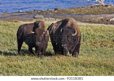 Two wild American Buffalo or Bison, standing side by side in a grassy field with a river in the background.