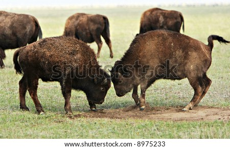 Two wild buffalos fights. Askania-Nova. Ukraine