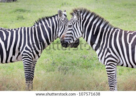Two WILD Burchell's Zebra (Equus quagga burchellii) create perfect symmetry and harmony while standing face to face in Kenya, Africa.  Similar to the Grant's Zebra (Equus quagga boehmi).
