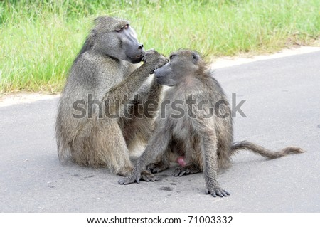 Two wild chacma baboons grooming in the Kruger Park, South Africa