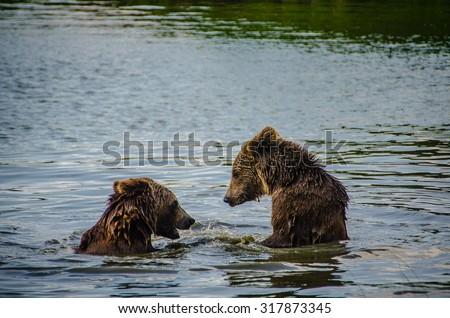 Two wild European Brown Bears in a lake in Romania.