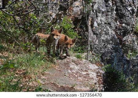 Two wild fox cubs outside their den