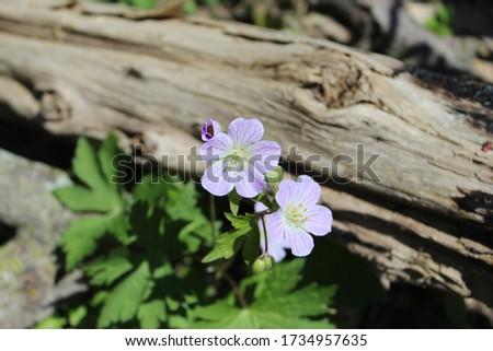 Two wild geranium blooms next to an old log at Harms Woods in Skokie, Illinois Zdjęcia stock ©