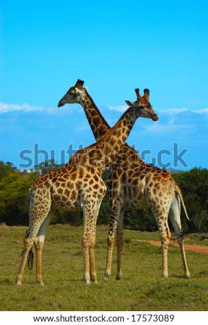 Two wild giraffe bulls in South Africa