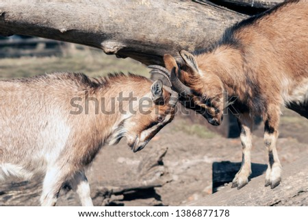 Two wild goats fight with intertwined horns. - Horizontal picture