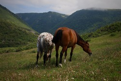 Two Wild Horses Grazing on the Mountain Side on Pollet's Cove Hiking Trail in Cape Breton, Nova Scotia
