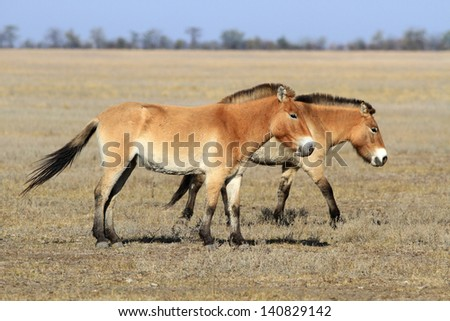 Two wild horses quietly go on the steppe