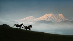 Two wild Kaimanawa horses running in the mountain ranges with Mount Ruapehu in the distance, Central Plateau, New Zealand