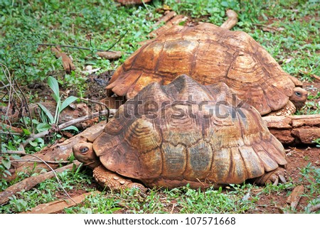 Two WILD Leopard tortoises (Stigmochelys pardalis, formerly Geochelone) rest and bask in the sun in Kenya, Africa.