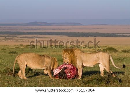 Two wild lion feeding at a kill in the morning light - keny masai mara