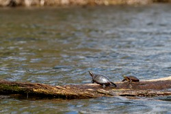 Two wild midland painted turtles (Chrysemys picta marginata) bask in the sun on a log floating in water.